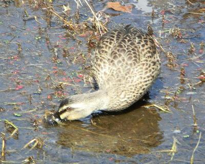 140407-船渡池公園の中の鴨-1