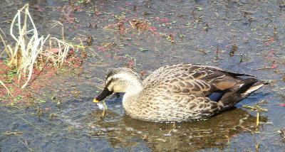 140407-船渡池公園の中の鴨-2