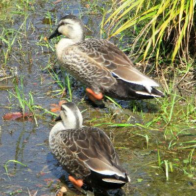 140407-船渡池公園の中の鴨-3