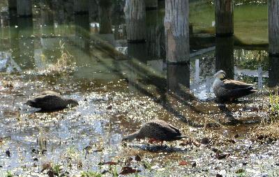 140407-船渡池公園の中の鴨-6