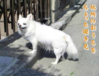 140422-銀ちゃん散歩-9