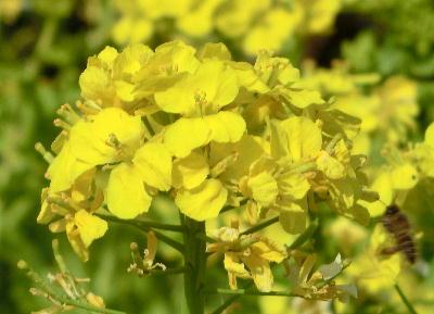 140503-船渡池公園の菜の花-4