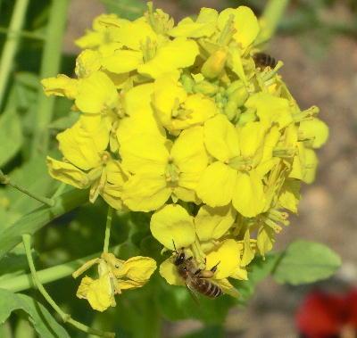 140503-船渡池公園の菜の花-1