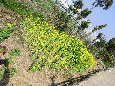 140503-船渡池公園の菜の花-2