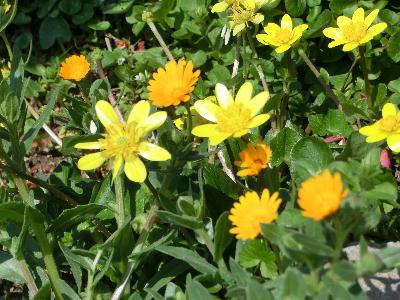 140514-お隣の黄花-1