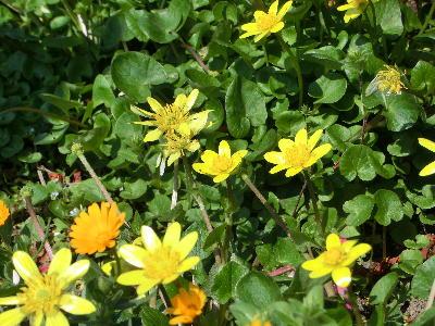 140514-お隣の黄花-2
