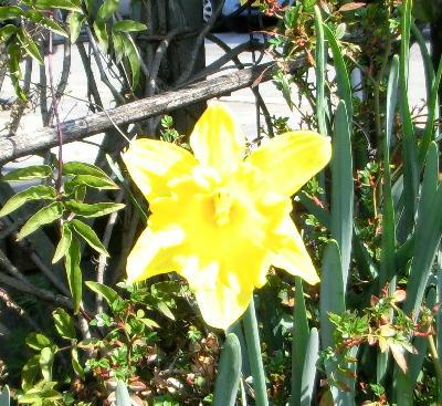 140514-お隣の花水仙-1