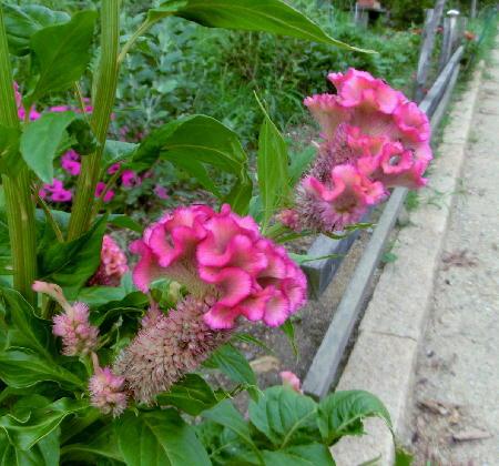 140905-船渡池公園の花-3
