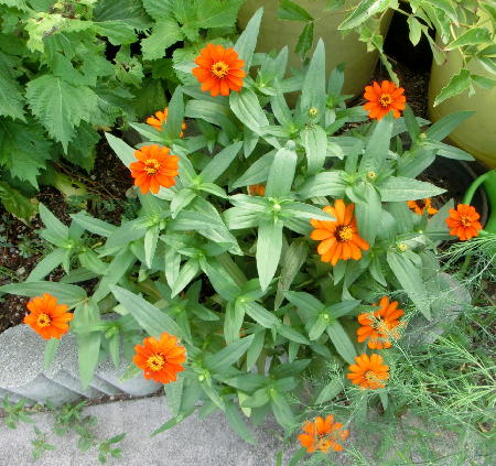 140906-我が家の花1-8