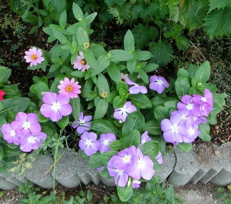 140906-我が家の花1-5