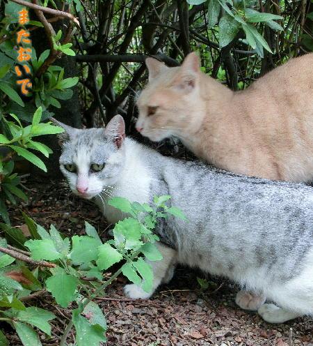 140908-野良猫-6