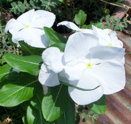 140911-我が家の花2-2