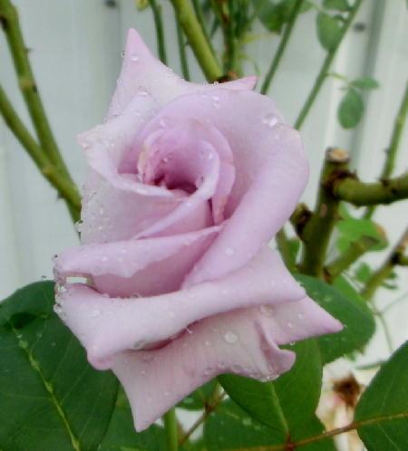 140925-雨の日のバラ-2