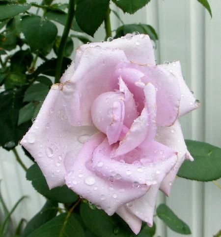 140925-雨の日のバラ-1