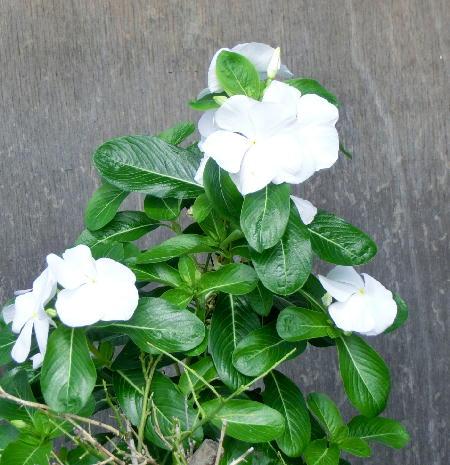 141005-我が家の花2-3