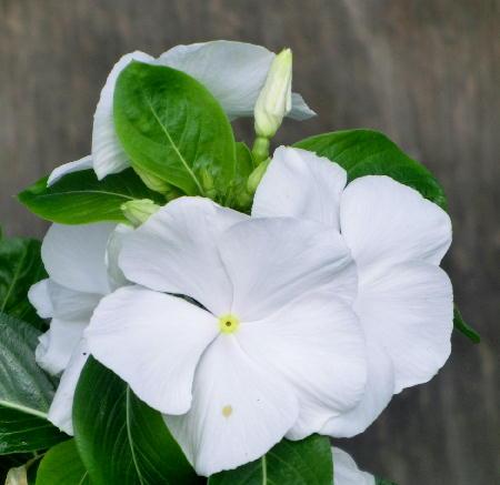 141005-我が家の花2-4