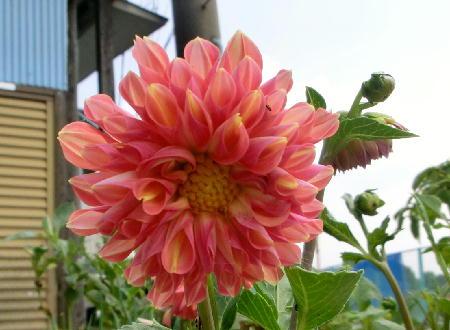 141005-我が家の花2-1