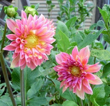 141005-我が家の花2-2