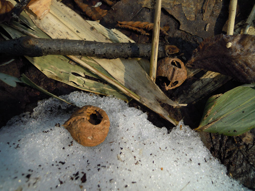 エゾアカネズミの食痕。