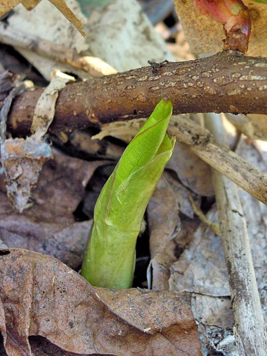 ヒメザゼンソウの芽出し。