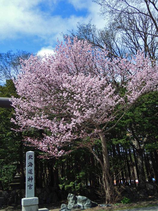 北海道神宮の桜が咲きました。