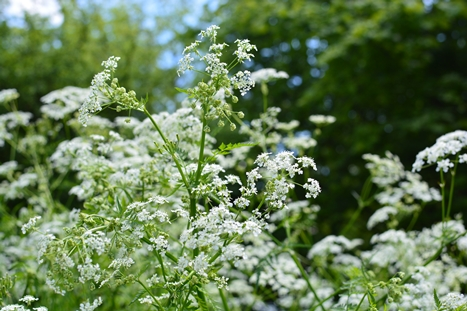 デュッセル川ほとりの白い花