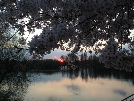湖に沈む夕日と桜