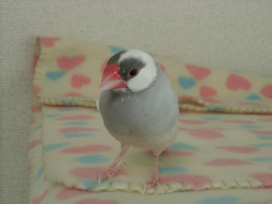 放鳥タイムを楽しむ銀