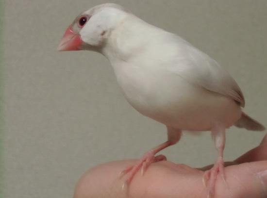 シルバーイノ文鳥の仁