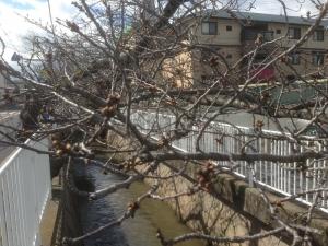 20140322-桜の木