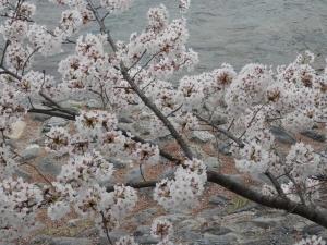 20140406-桜