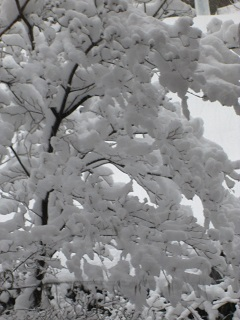 snowonthedogwood.jpg