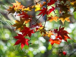 箱根美術館の紅葉 D