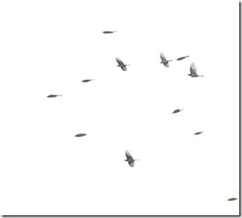14102515 アトリの群れ