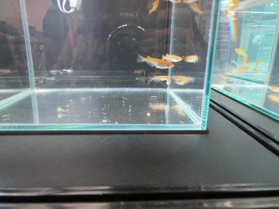 琥珀透明鱗