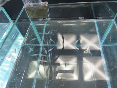 螺鈿光光体型透明鱗
