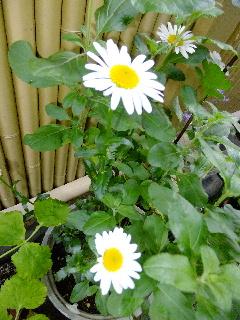 白い花 240
