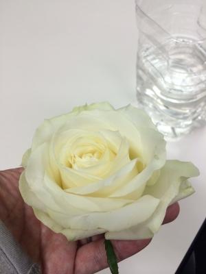whiterose01.jpg