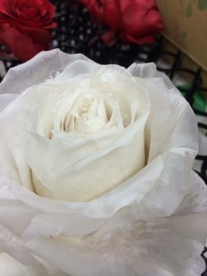 whiterose10.jpg
