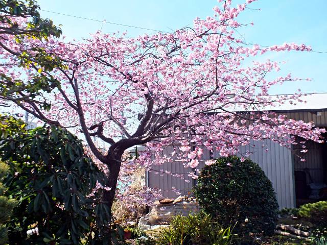 寒緋桜(かんひざくら)(109399 byte)