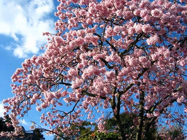 寒緋桜(115249 byte)