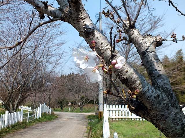 桜(さくら)(86105 byte)