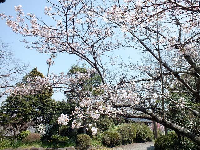 染井吉野(そめいよしの)(129017 byte)
