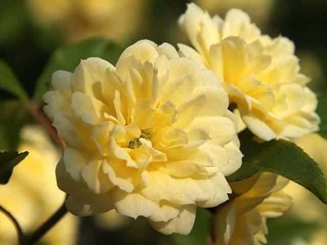 木香薔薇(もっこうばら)(31661 byte)
