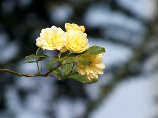 木香薔薇(もっこうばら)(26119 byte)