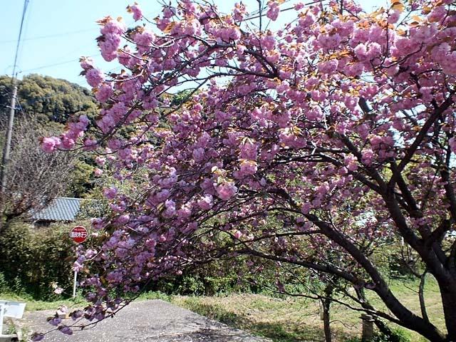 八重桜(126253 byte)