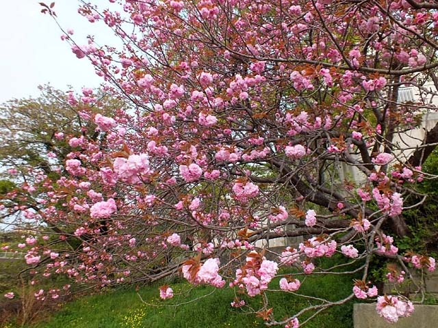 八重桜(120086 byte)