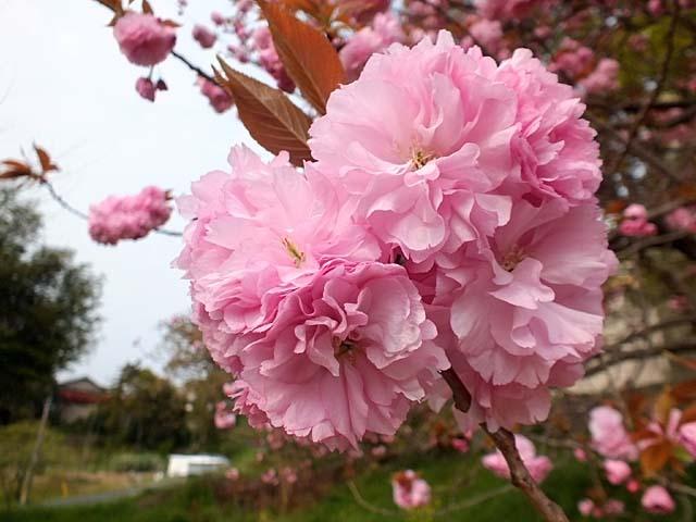 八重桜(50143 byte)