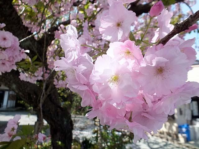 八重桜(やえざくら)(57903 byte)