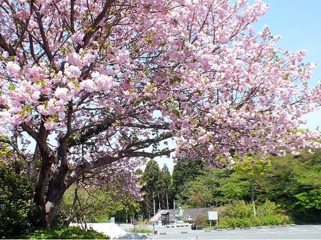 八重桜(やえざくら)(123349 byte)